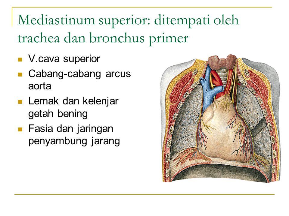 Mediastinum superior: ditempati oleh trachea dan bronchus primer