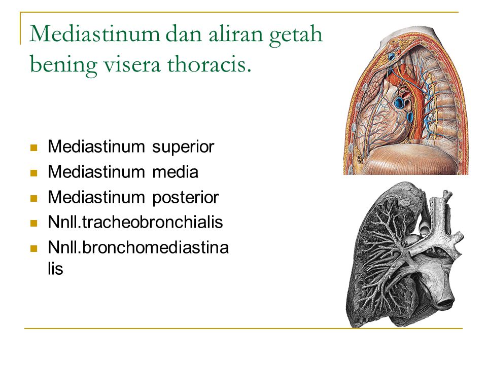 Mediastinum dan aliran getah bening visera thoracis.