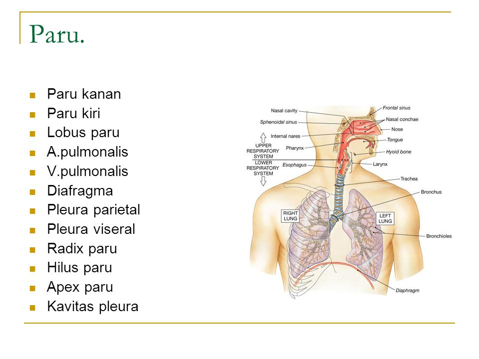 Paru. Paru kanan Paru kiri Lobus paru A.pulmonalis V.pulmonalis
