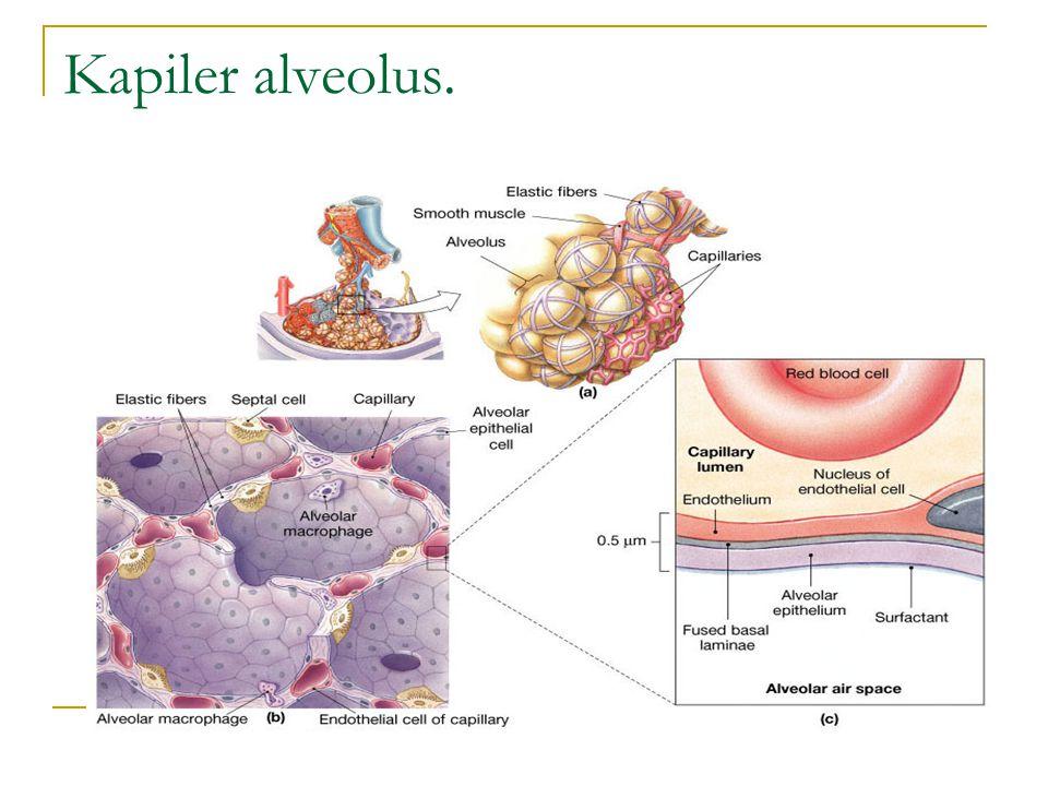 Kapiler alveolus.
