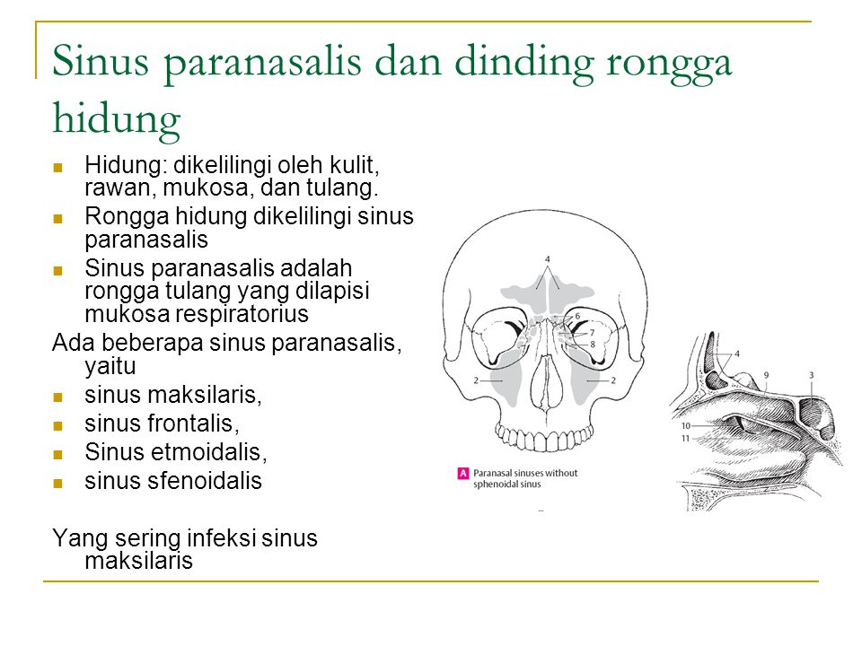 Sinus paranasalis dan dinding rongga hidung