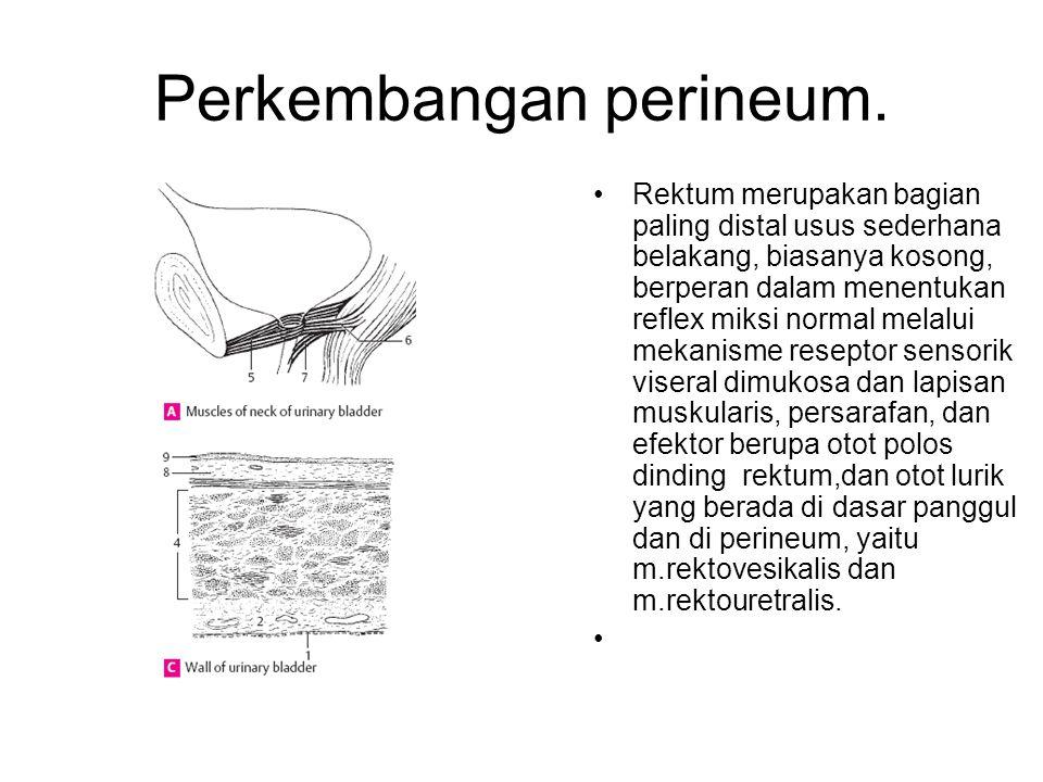 Perkembangan perineum.