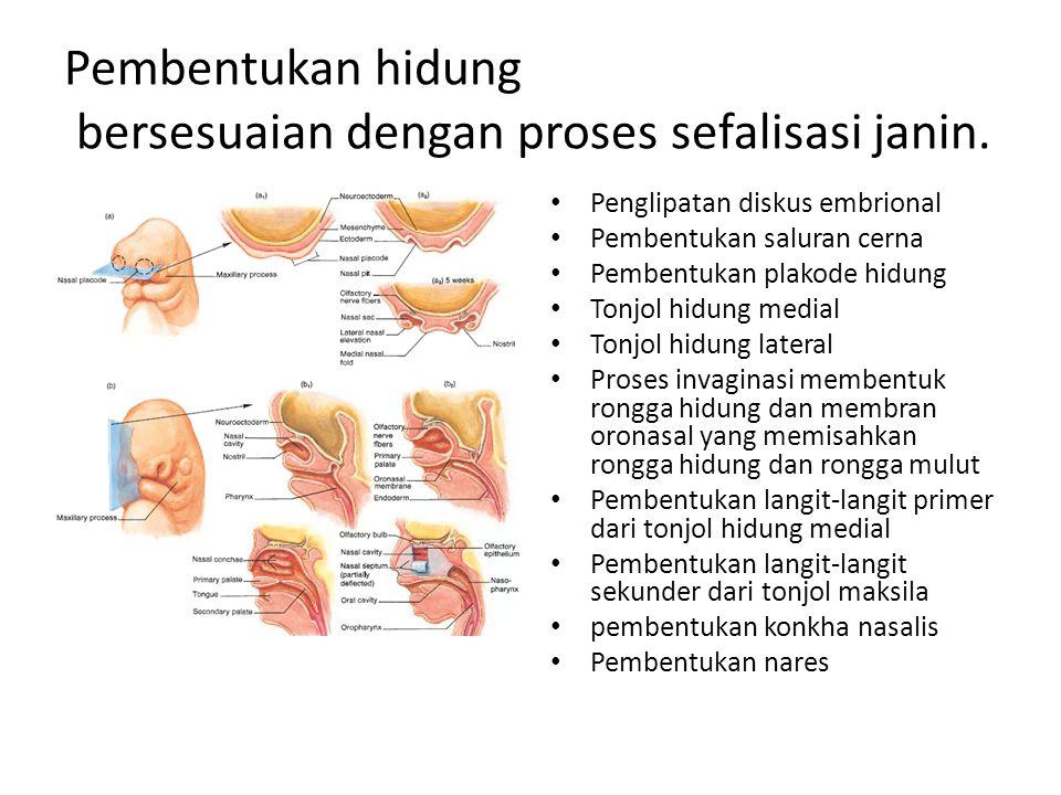 Pembentukan hidung bersesuaian dengan proses sefalisasi janin.
