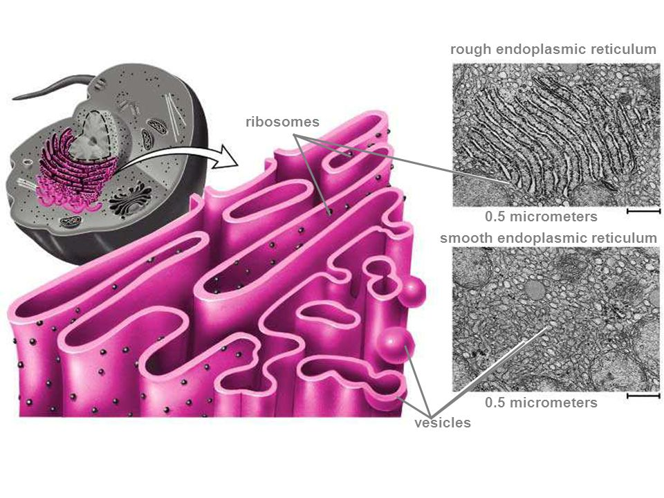 rough endoplasmic reticulum smooth endoplasmic reticulum