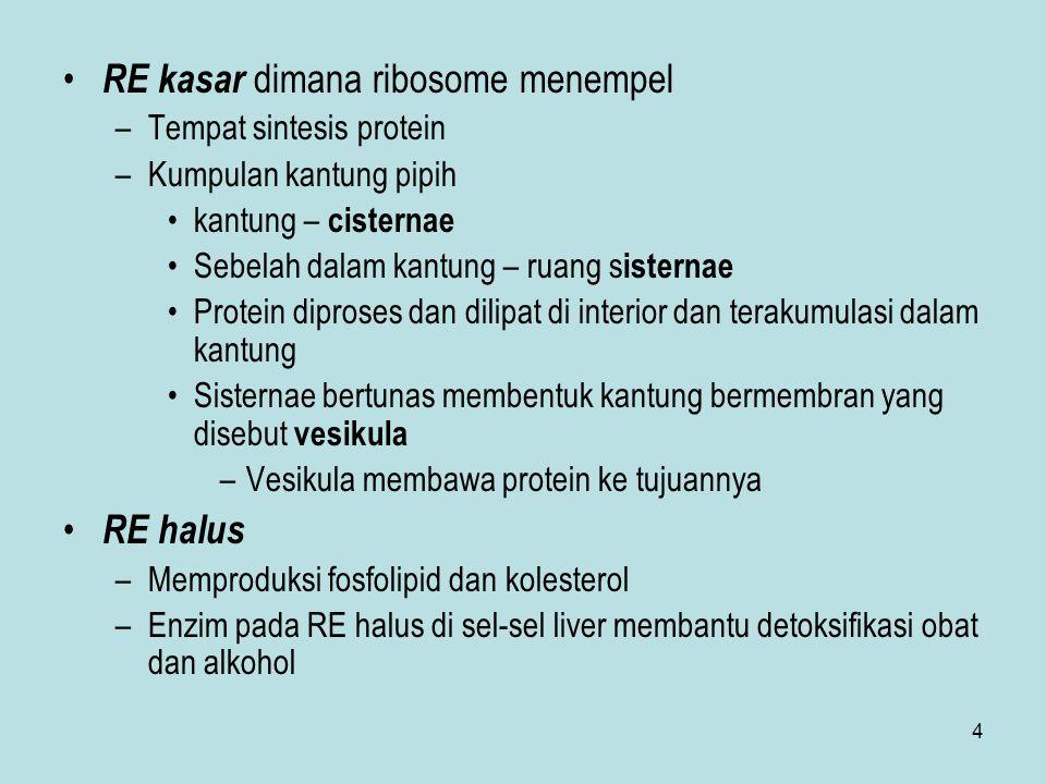RE kasar dimana ribosome menempel