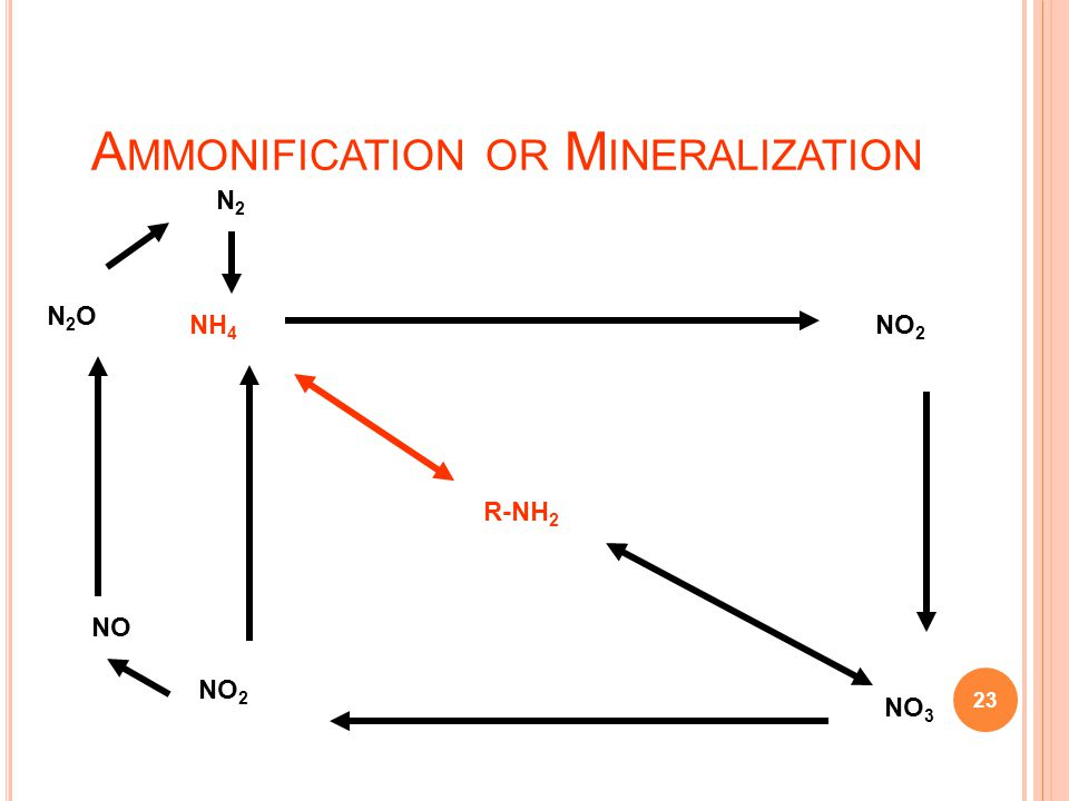 Ammonification or Mineralization