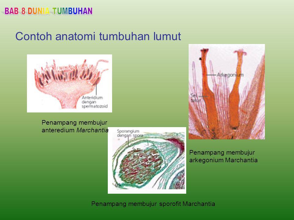 Contoh anatomi tumbuhan lumut