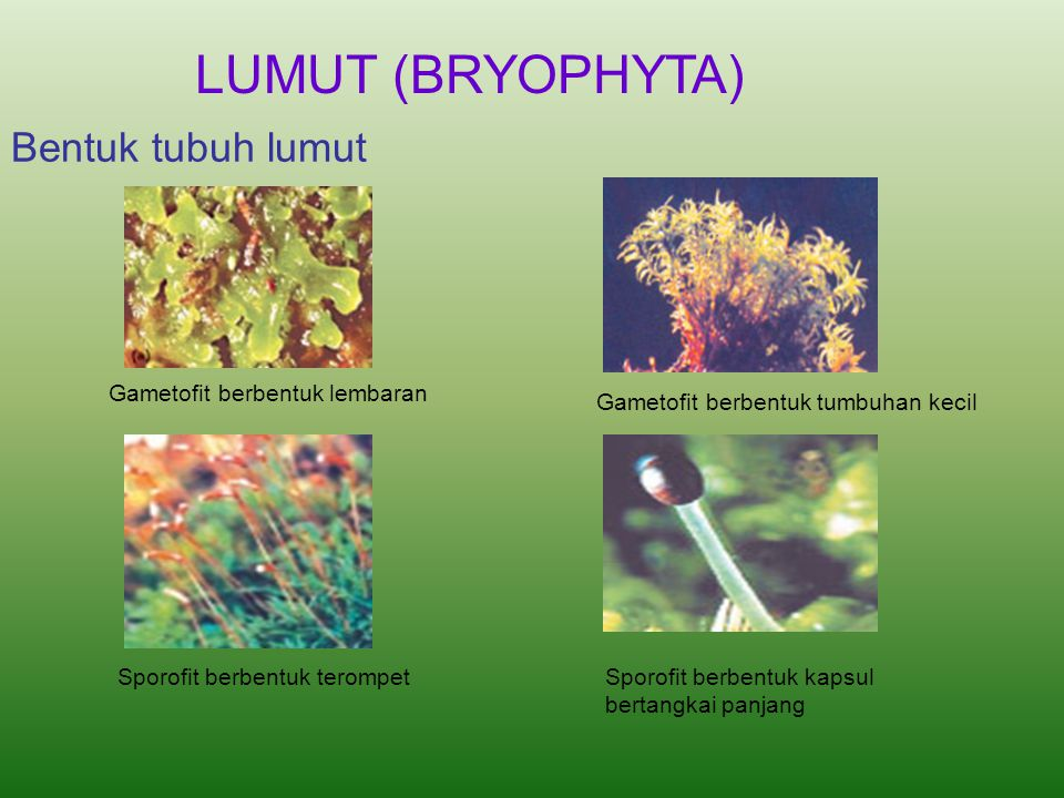 LUMUT (BRYOPHYTA) Bentuk tubuh lumut Gametofit berbentuk lembaran
