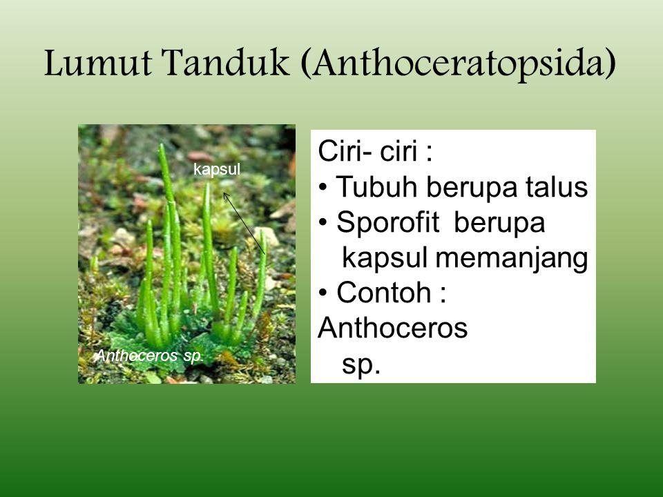 Lumut Tanduk (Anthoceratopsida)