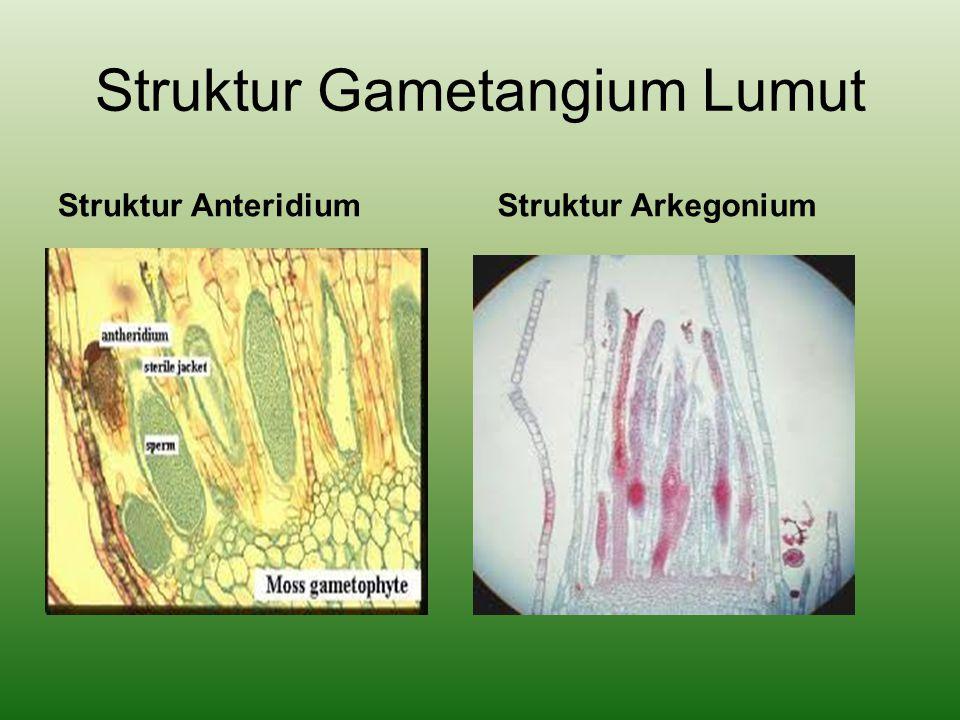 Struktur Gametangium Lumut