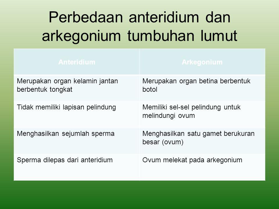Perbedaan anteridium dan arkegonium tumbuhan lumut