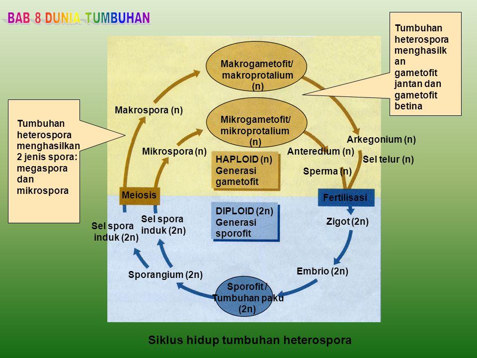 Siklus hidup tumbuhan heterospora