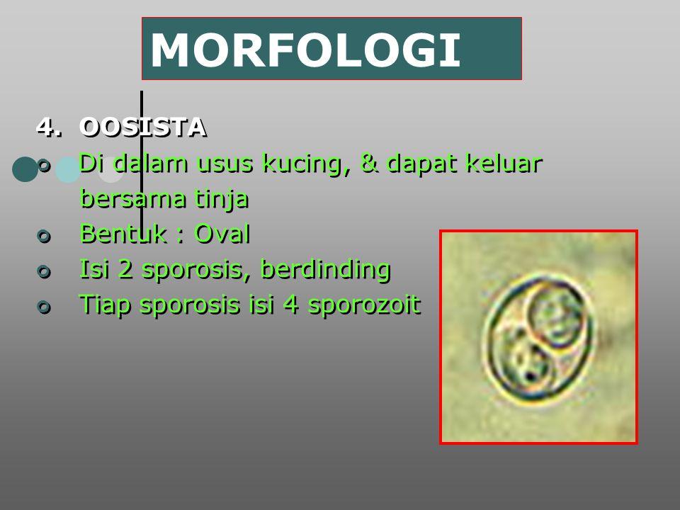 MORFOLOGI 4. OOSISTA Di dalam usus kucing, & dapat keluar