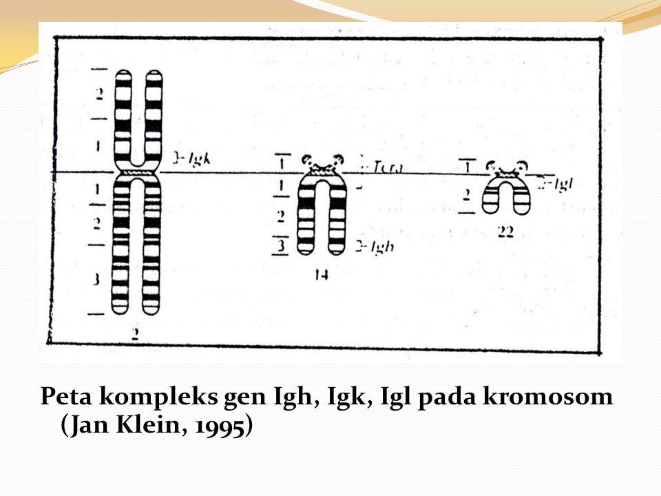 Peta kompleks gen Igh, Igk, Igl pada kromosom (Jan Klein, 1995)