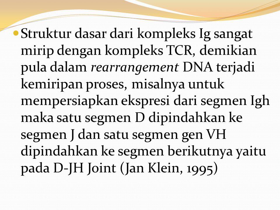 Struktur dasar dari kompleks Ig sangat mirip dengan kompleks TCR, demikian pula dalam rearrangement DNA terjadi kemiripan proses, misalnya untuk mempersiapkan ekspresi dari segmen Igh maka satu segmen D dipindahkan ke segmen J dan satu segmen gen VH dipindahkan ke segmen berikutnya yaitu pada D-JH Joint (Jan Klein, 1995)