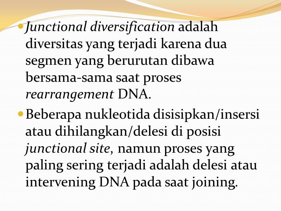 Junctional diversification adalah diversitas yang terjadi karena dua segmen yang berurutan dibawa bersama-sama saat proses rearrangement DNA.