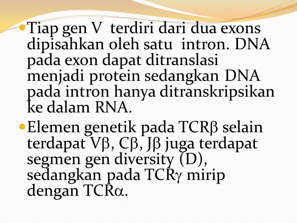 Tiap gen V terdiri dari dua exons dipisahkan oleh satu intron