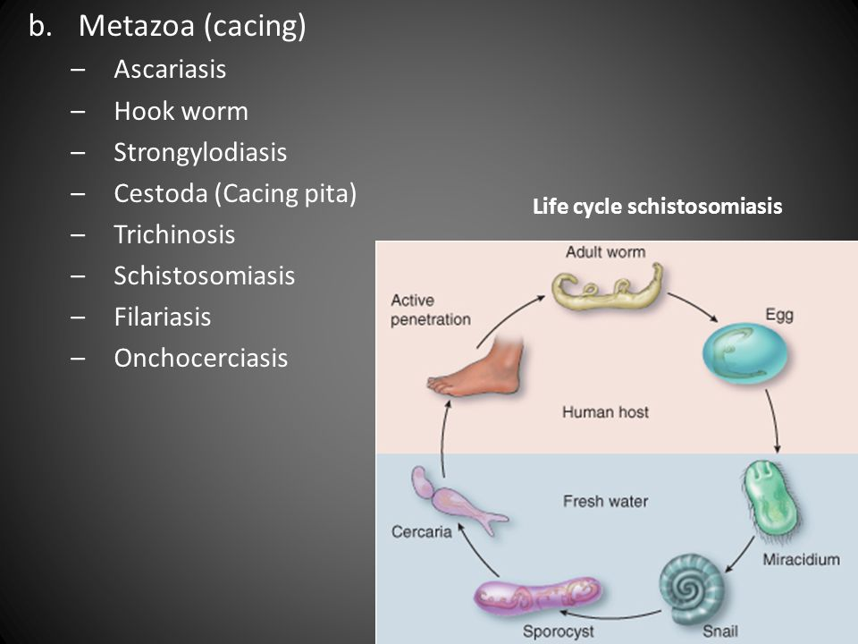 Life cycle schistosomiasis