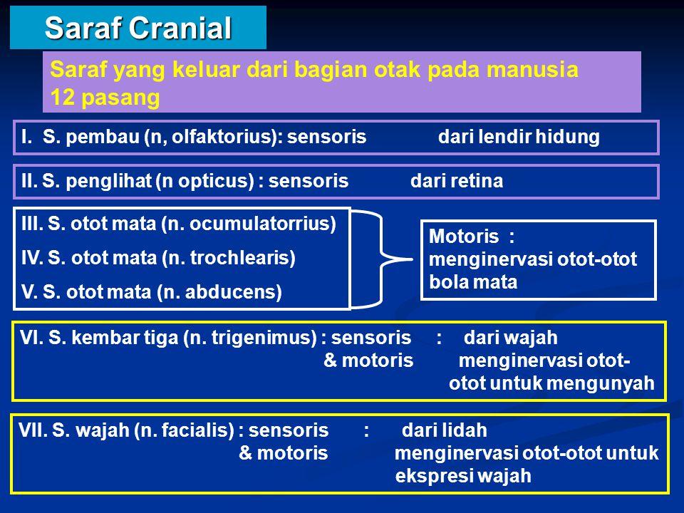 Saraf Cranial Saraf yang keluar dari bagian otak pada manusia 12 pasang.