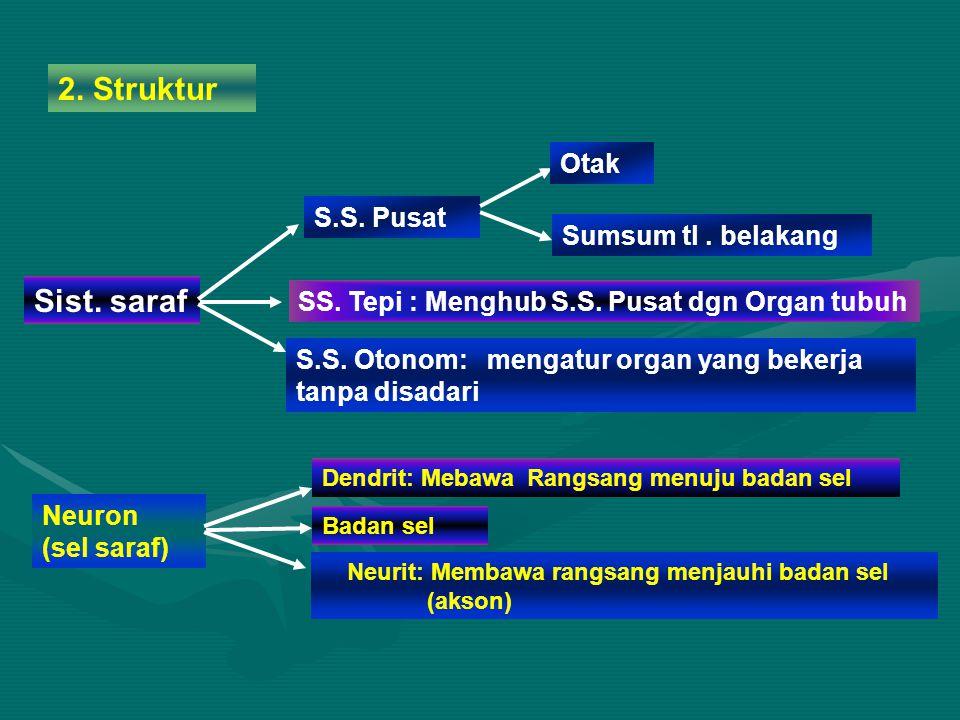 2. Struktur Sist. saraf Otak S.S. Pusat Sumsum tl . belakang