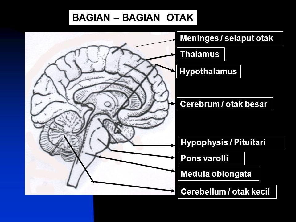 BAGIAN – BAGIAN OTAK Meninges / selaput otak Thalamus Hypothalamus