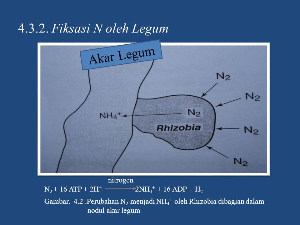 4.3.2. Fiksasi N oleh Legum Akar Legum nitrogen