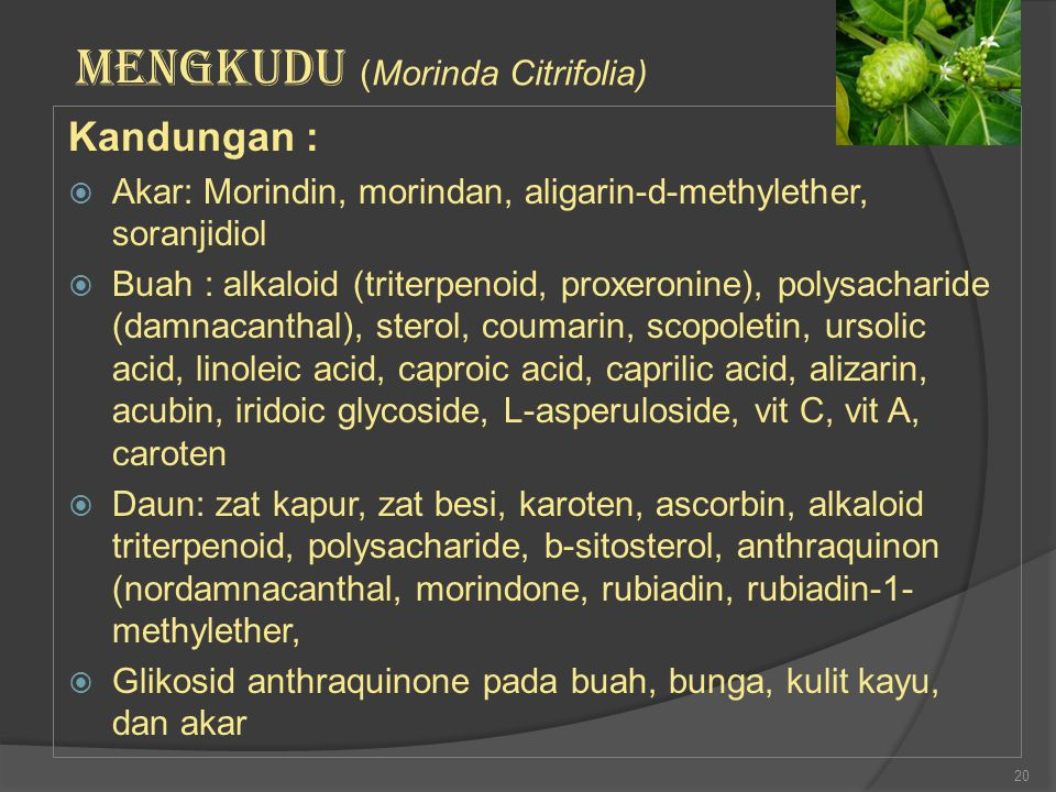 MENGKUDU (Morinda Citrifolia)