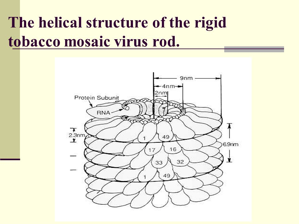 The helical structure of the rigid tobacco mosaic virus rod.
