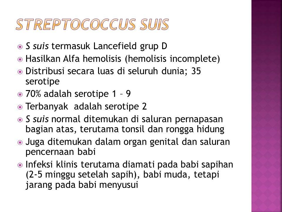 Streptococcus suis S suis termasuk Lancefield grup D