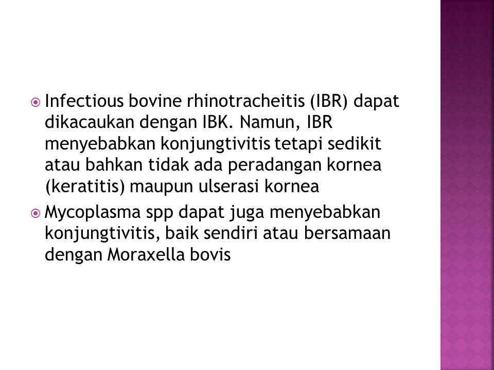 Infectious bovine rhinotracheitis (IBR) dapat dikacaukan dengan IBK
