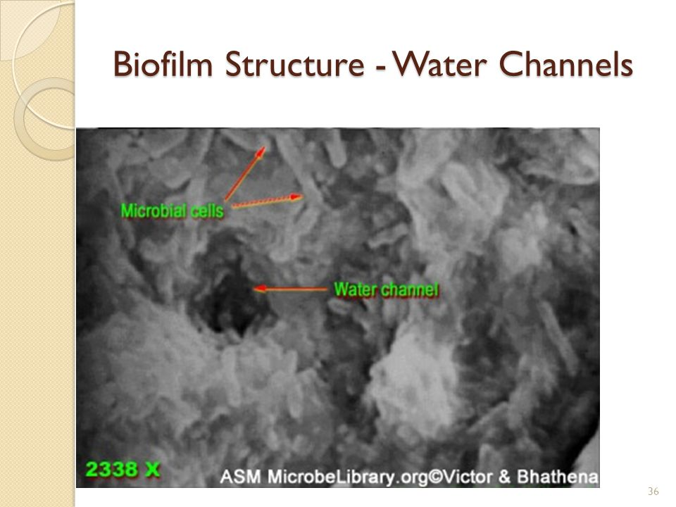 Biofilm Structure - Water Channels