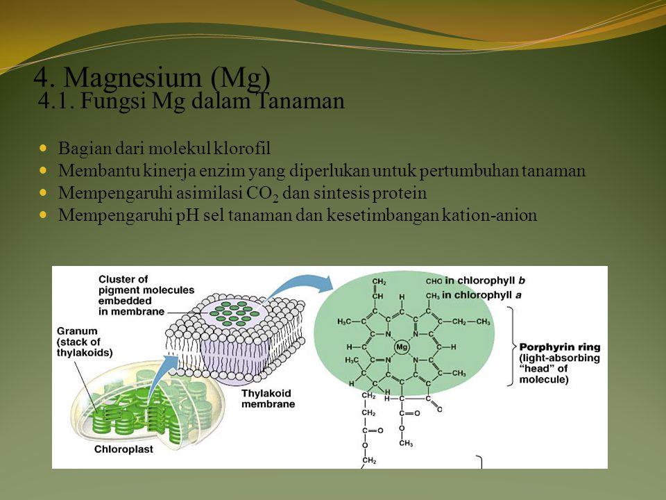 4. Magnesium (Mg) 4.1. Fungsi Mg dalam Tanaman