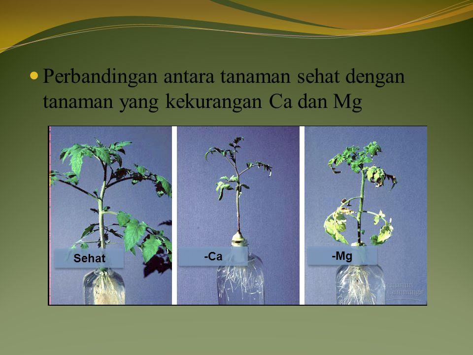 Perbandingan antara tanaman sehat dengan tanaman yang kekurangan Ca dan Mg