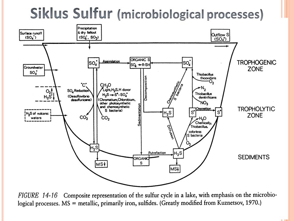 Siklus Sulfur (microbiological processes)