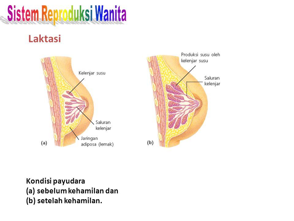 Laktasi Sistem Reproduksi Wanita Kondisi payudara