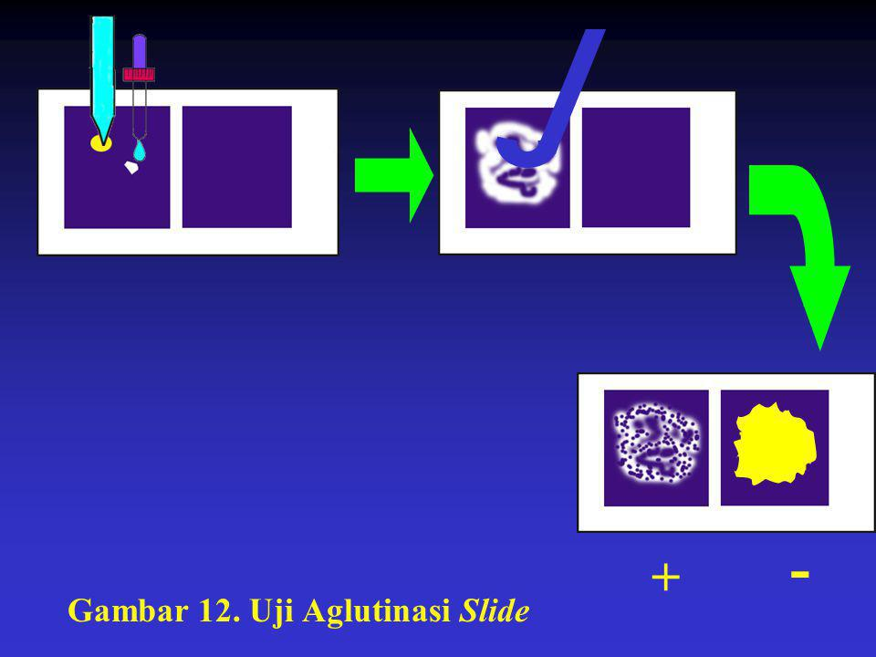 + - Gambar 12. Uji Aglutinasi Slide