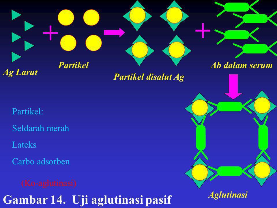 + + Gambar 14. Uji aglutinasi pasif Partikel Ab dalam serum Ag Larut