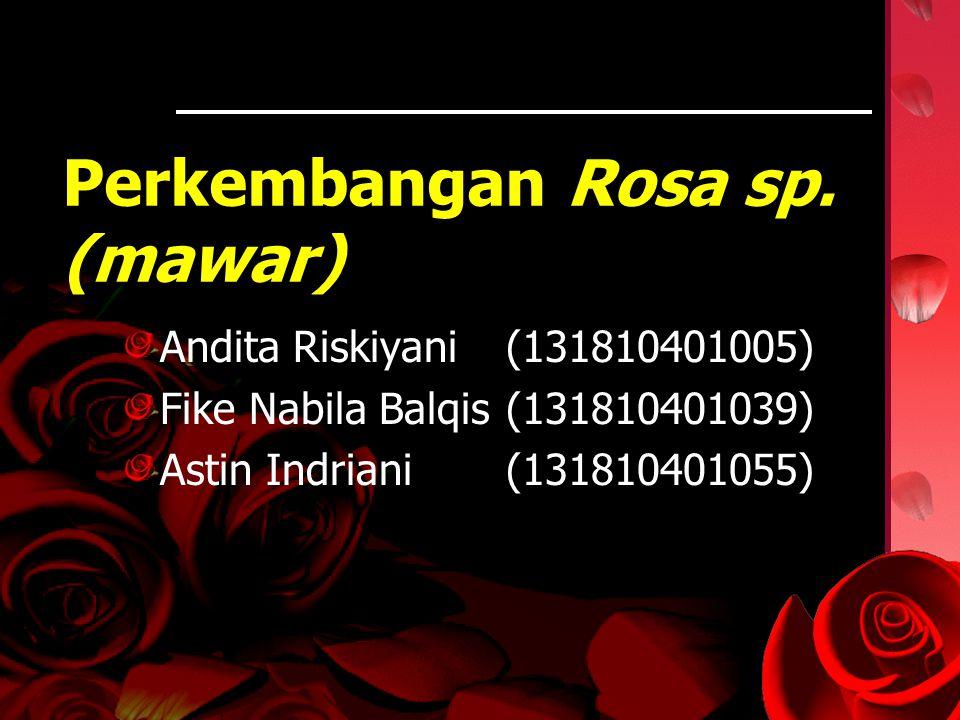 Perkembangan Rosa sp. (mawar)