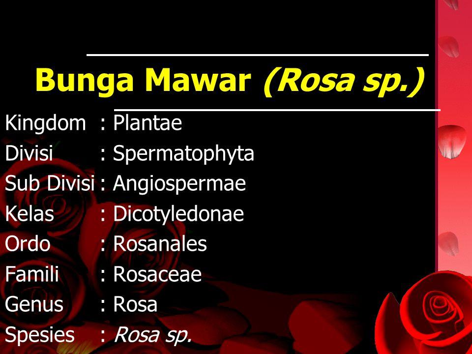 Bunga Mawar (Rosa sp.) Kingdom : Plantae Divisi : Spermatophyta