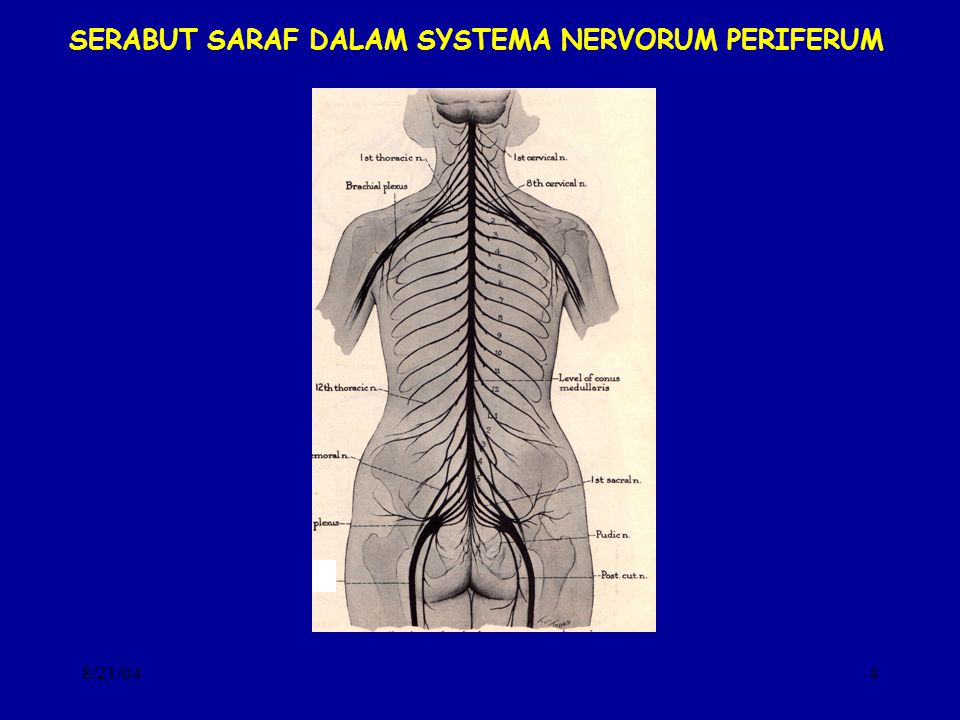 SERABUT SARAF DALAM SYSTEMA NERVORUM PERIFERUM