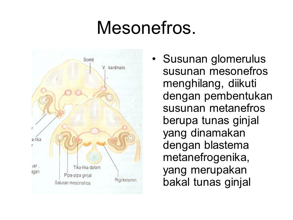 Mesonefros.