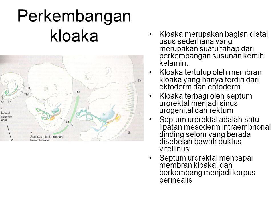 Perkembangan kloaka Kloaka merupakan bagian distal usus sederhana yang merupakan suatu tahap dari perkembangan susunan kemih kelamin.
