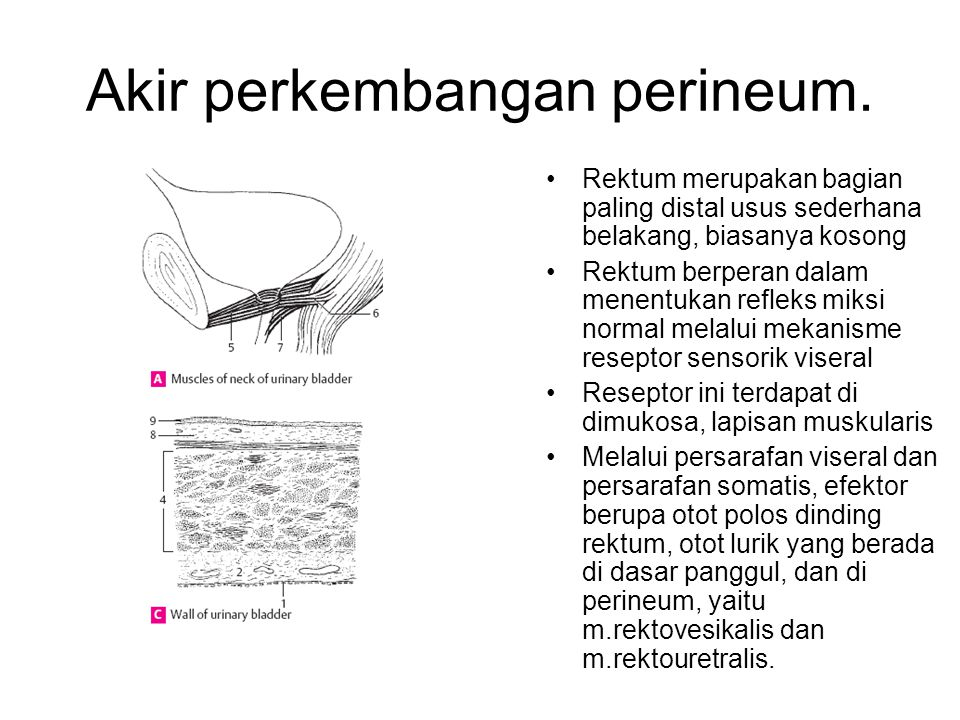 Akir perkembangan perineum.