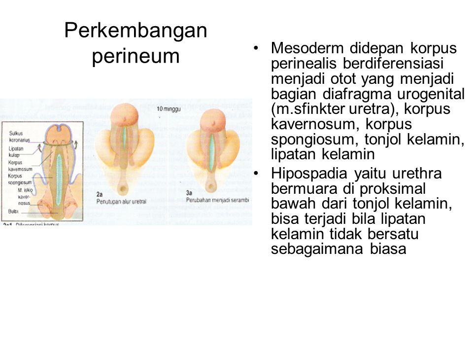 Perkembangan perineum