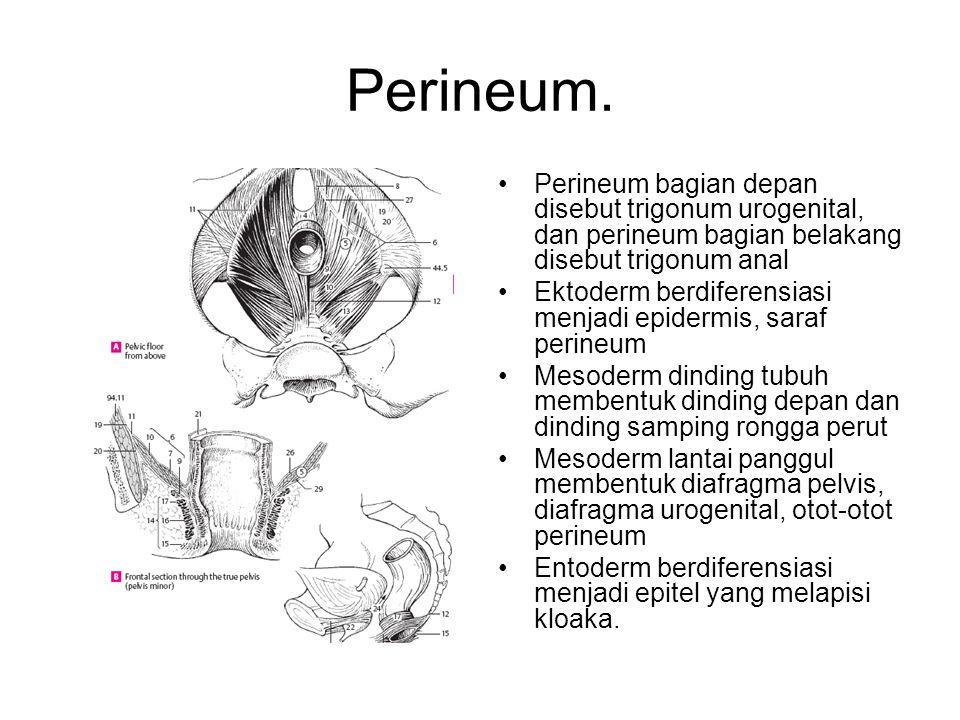 Perineum. Perineum bagian depan disebut trigonum urogenital, dan perineum bagian belakang disebut trigonum anal.