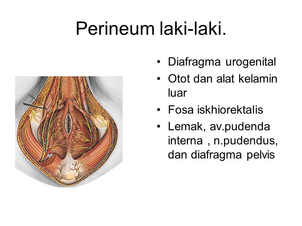Perineum laki-laki. Diafragma urogenital Otot dan alat kelamin luar
