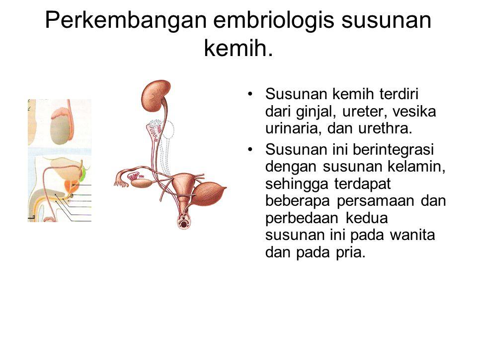 Perkembangan embriologis susunan kemih.