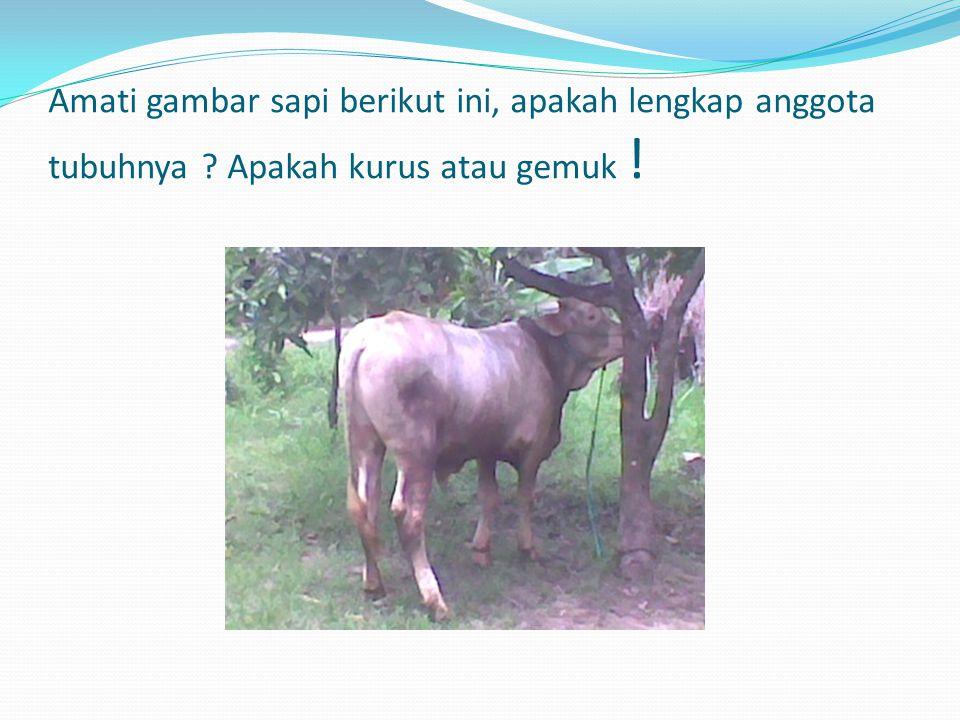 Amati gambar sapi berikut ini, apakah lengkap anggota tubuhnya