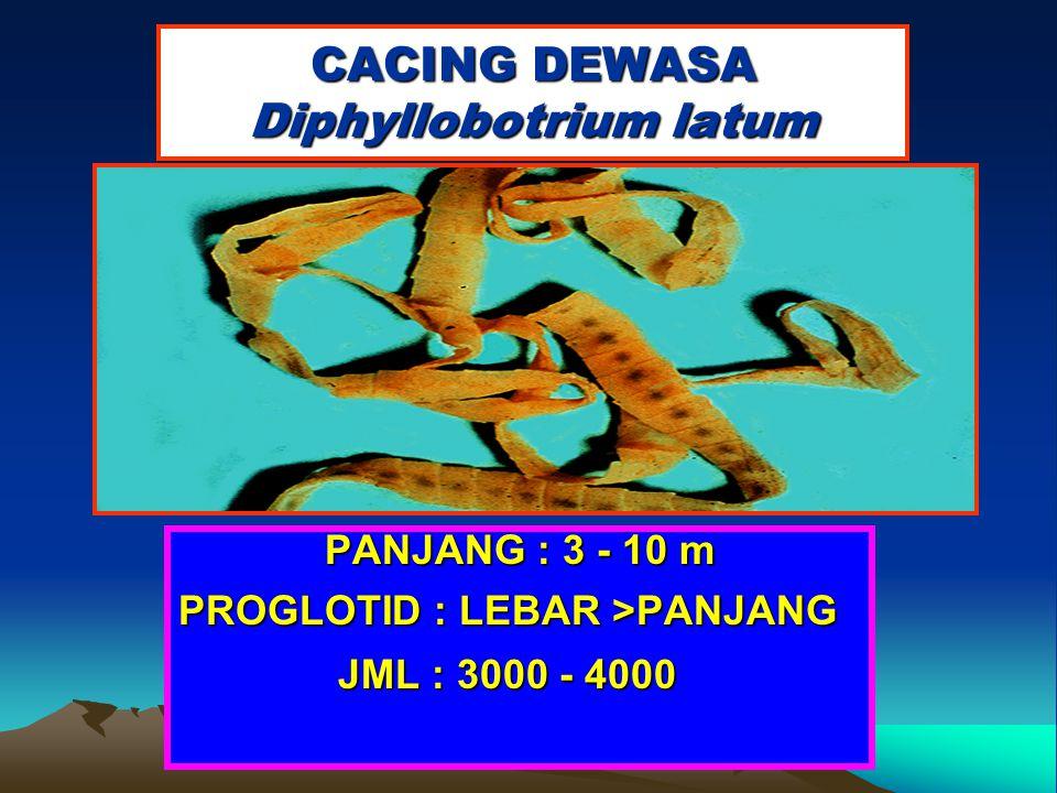 CACING DEWASA Diphyllobotrium latum