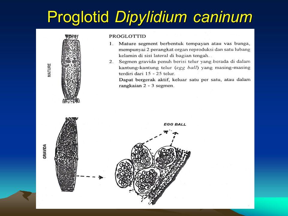 Proglotid Dipylidium caninum